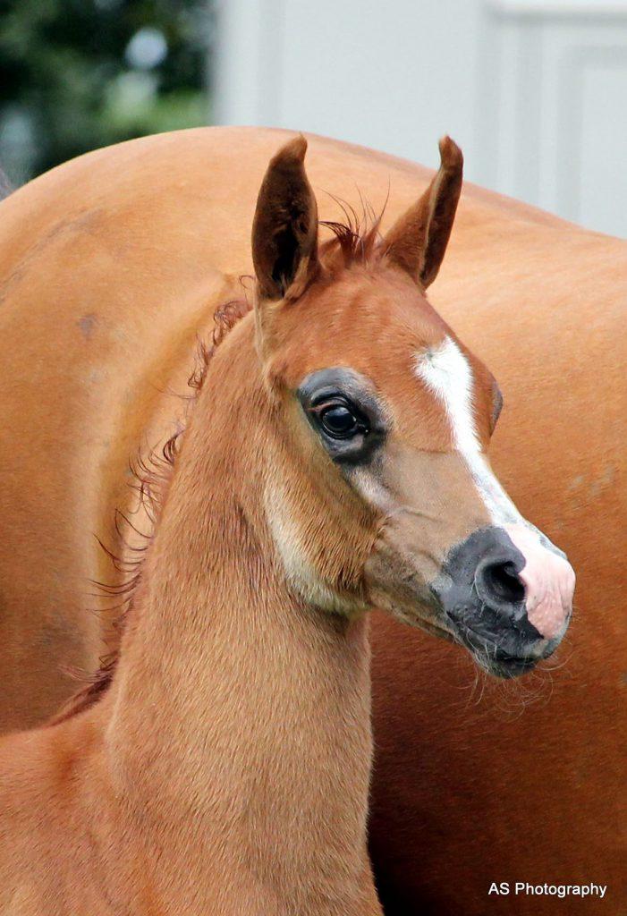 Palacupa Rifat bronze arabian filly foal at the arabian horse weekend