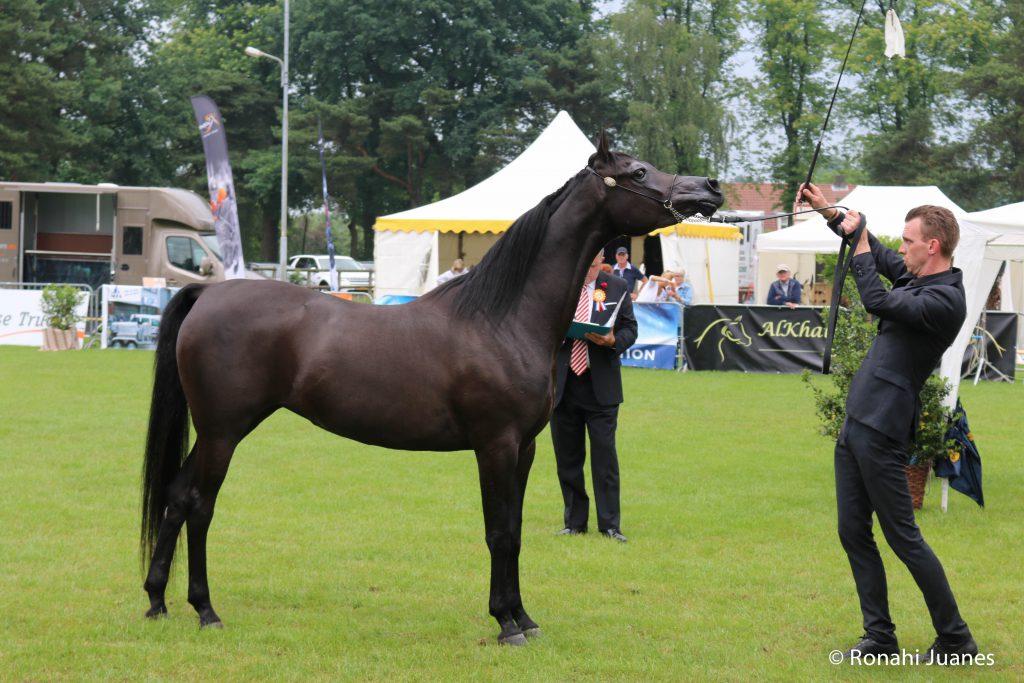 Ava black arabian mare in standup