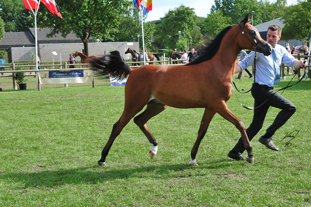 Gallardo J bred by Jadem Arabians trotting at the show